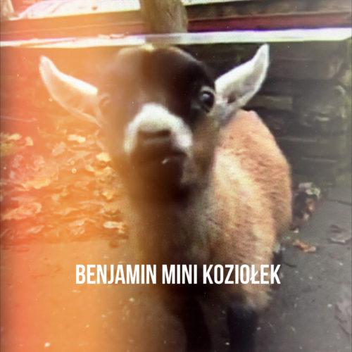 Benjamin - osierocony 5 tygodniowy mini koziołek - w 2014 roku był mega atrakcją na Wyspach
