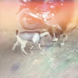 niesamowite kozły #2 kozioł zwycięża z bykiem...